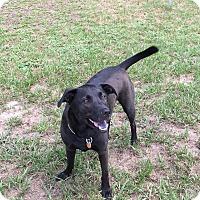 Labrador Retriever Mix Dog for adoption in Ocala, Florida - Gunnar