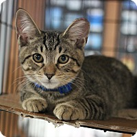 Domestic Shorthair Kitten for adoption in Carlisle, Pennsylvania - Hudson