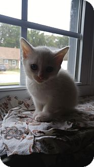Domestic Shorthair Kitten for adoption in Baltimore, Maryland - Dory