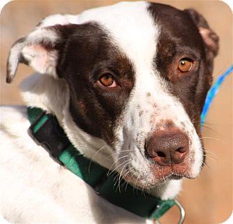 Spaniel (Unknown Type)/Retriever (Unknown Type) Mix Dog for adoption in Sedona, Arizona - Allie
