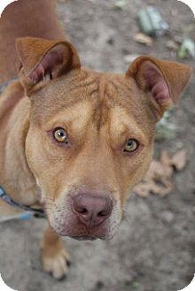 American Staffordshire Terrier Mix Dog for adoption in Kansas City, Missouri - Ace