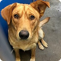 Golden Retriever Dog for adoption in Greenville, Texas - Cage 9