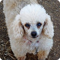 Adopt A Pet :: Champagne - Spartanburg, SC