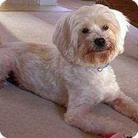 Shih Tzu/Poodle (Standard) Mix Dog for adoption in Mooresville, North Carolina - Polar