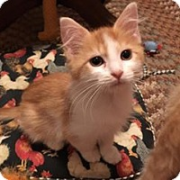 Domestic Mediumhair Cat for adoption in Baltimore, Maryland - Manny