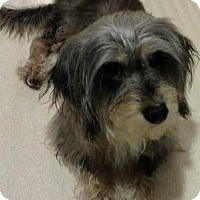 Adopt A Pet :: Shelby - Staten Island, NY