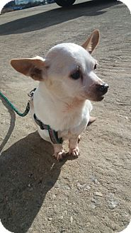 Chihuahua Mix Dog for adoption in Oakton, Virginia - Honey