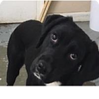 Adopt A Pet :: Liza - Manhattan, NY