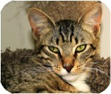 Domestic Shorthair Cat for adoption in El Cajon, California - Bacio