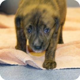 Shepherd (Unknown Type)/Chow Chow Mix Puppy for adoption in Gainesville, Florida - Preston
