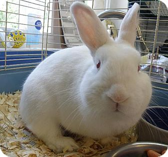 Other/Unknown Mix for adoption in Sterling, Massachusetts - White Bunny