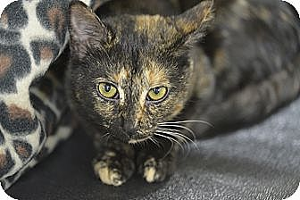 Domestic Shorthair Cat for adoption in Brooklyn, New York - Noelle
