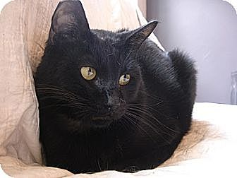 Domestic Shorthair Cat for adoption in Woodland Hills, California - Cody 2