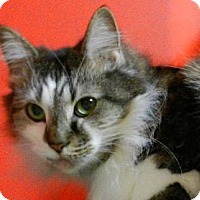 Maine Coon Cat for adoption in Carrollton, Georgia - SC-Fluffers (MCR)