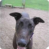 Adopt A Pet :: Yaz (Yastrzemski) - Chagrin Falls, OH