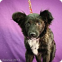 Adopt A Pet :: Shiver - Broomfield, CO