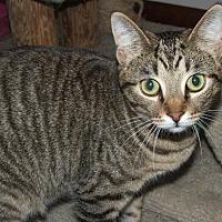 Domestic Shorthair Cat for adoption in Toledo, Ohio - Lulu