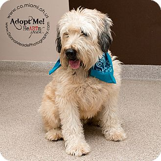 wheaten terrier rescue ohio troy oh wheaten terrier meet muggs a dog for adoption 5447