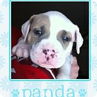 Adopt A Pet :: Panda - La Quinta, CA