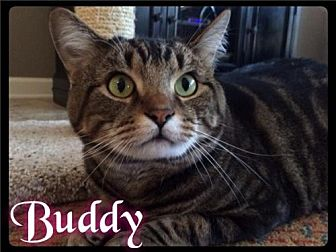 Domestic Shorthair Cat for adoption in Maumelle, Arkansas - Buddy - Foster 2015