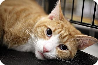 Domestic Shorthair Cat for adoption in Fairfax Station, Virginia - Riley Blue Eyes