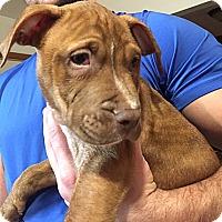 Adopt A Pet :: Madden - Cincinnati, OH