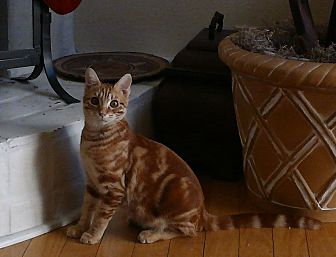 Domestic Shorthair Cat for adoption in Scottsdale, Arizona - Donnie