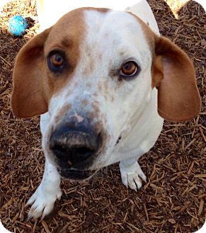 Blue Ridge, GA - Basset Hound/Jack Russell Terrier Mix ...
