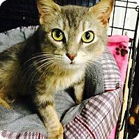 Adopt A Pet :: Mitsuko - Chattanooga, TN