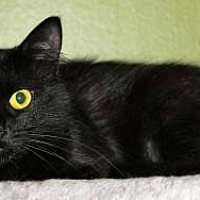 Domestic Mediumhair Cat for adoption in Memphis, Tennessee - Gabby