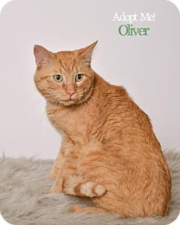 Domestic Shorthair Cat for adoption in West Des Moines, Iowa - Oliver