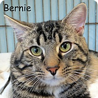Domestic Shorthair Cat for adoption in Warren, Pennsylvania - Bernie