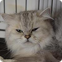 Adopt A Pet :: Cheyenne - DFW Metroplex, TX
