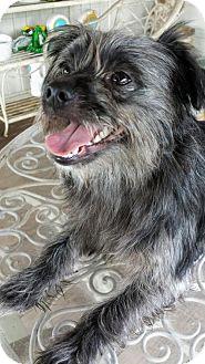 Shih Tzu/Affenpinscher Mix Dog for adoption in Alvin, Texas - Chewie