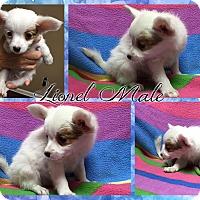 Adopt A Pet :: Lionel - Washington, DC