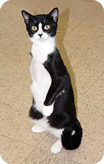 Domestic Shorthair Cat for adoption in Harrison, New York - Lara