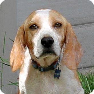 Beagle Dog for adoption in Jacksonville, Florida - Leo