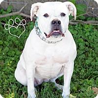 American Bulldog/Boxer Mix Dog for adoption in Newport, Kentucky - Belles