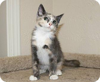 Domestic Shorthair Kitten for adoption in Edmond, Oklahoma - Ethel