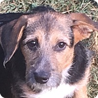 Terrier (Unknown Type, Medium)/Wirehaired Fox Terrier Mix Puppy for adoption in Hagerstown, Maryland - Rosetta