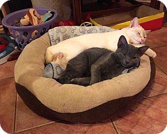 Domestic Shorthair Kitten for adoption in Toronto, Ontario - Sansi