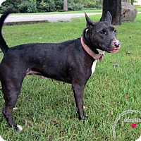 Bull Terrier Mix Dog for adoption in Sidney, Ohio - Jazzy