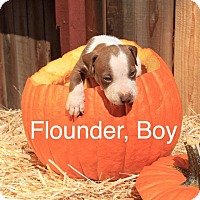 Adopt A Pet :: Flounder - Sonoma, CA