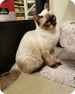 Siamese Kitten for adoption in Santa Ana, California - Mari-Ann