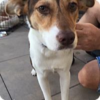 Schipperke/Australian Shepherd Mix Dog for adoption in Dana Point, California - Lillie