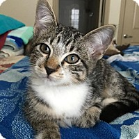 Domestic Shorthair Kitten for adoption in San Antonio, Texas - Victor