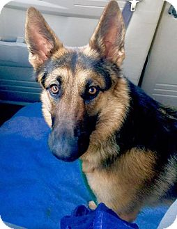 German shepherd for adoption las vegas