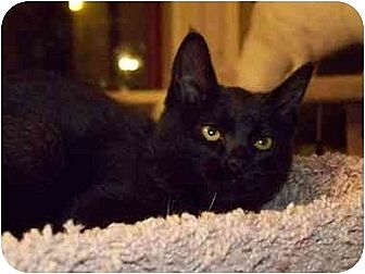 Domestic Shorthair Kitten for adoption in Beaumont, Texas - Babee