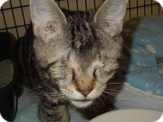 Domestic Shorthair Cat for adoption in Medina, Ohio - Stevie