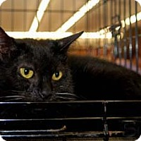 Domestic Shorthair Cat for adoption in Merrifield, Virginia - Sarah